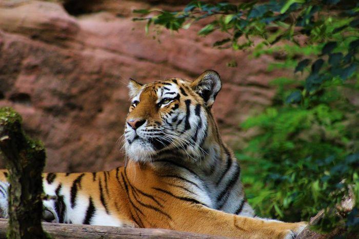 Be. Ready. Animal Themes Animal Wildlife Animals In The Wild Majestic Nature One Animal Tiger Wildlife Zoology