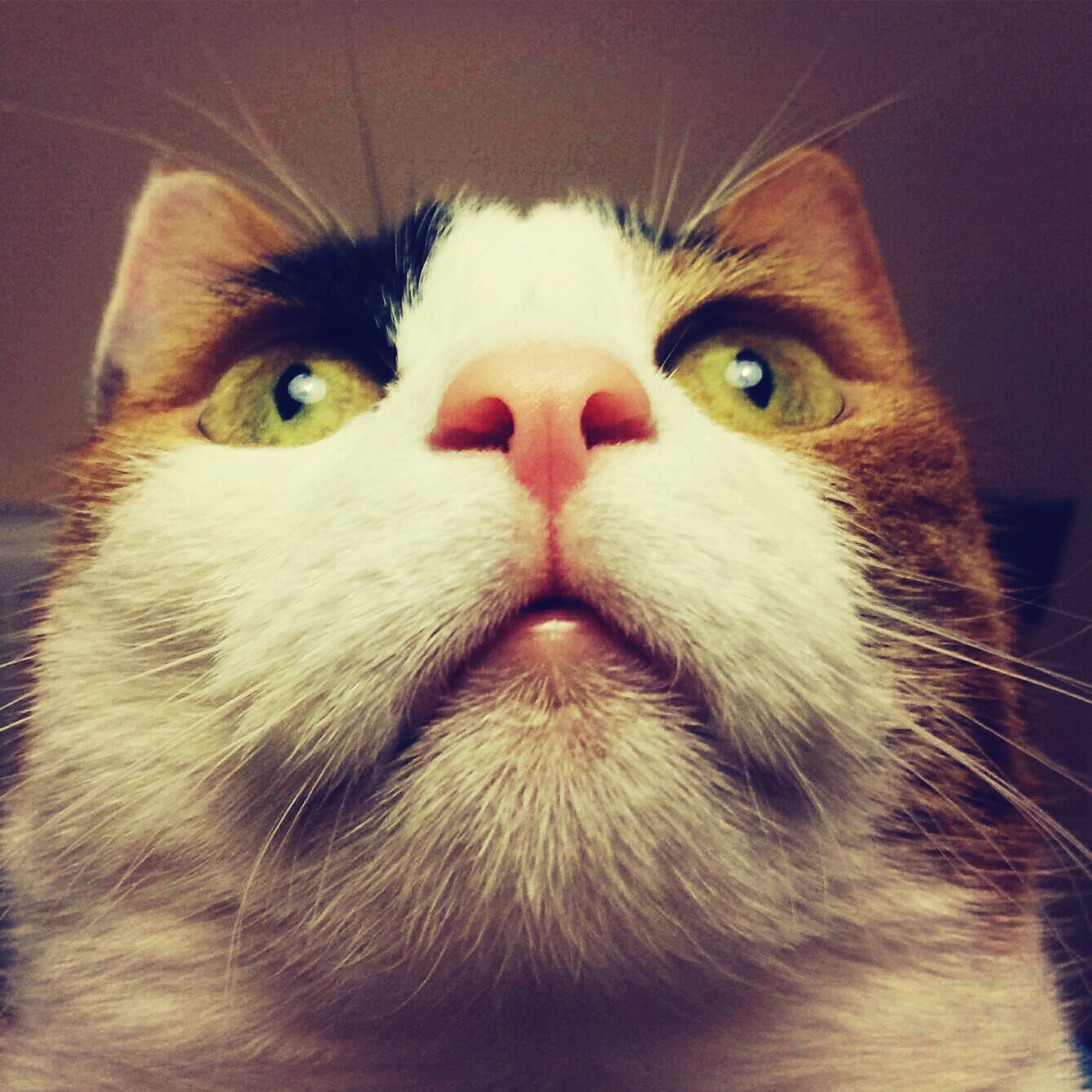 pets, animal themes, domestic animals, one animal, domestic cat, cat, indoors, feline, whisker, mammal, portrait, close-up, animal head, looking at camera, animal eye, alertness, staring, animal body part, front view