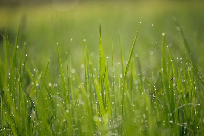 Green Color Grass Growth No People Wet Freshness Close-up Purity Dewdropphotography Dew Drop Green Background Dew On Grass Dew Drops Dewdrops_Beauty DewShots Defocused Dews Dewdrops On Grass Beauty In Nature Green Color Drop
