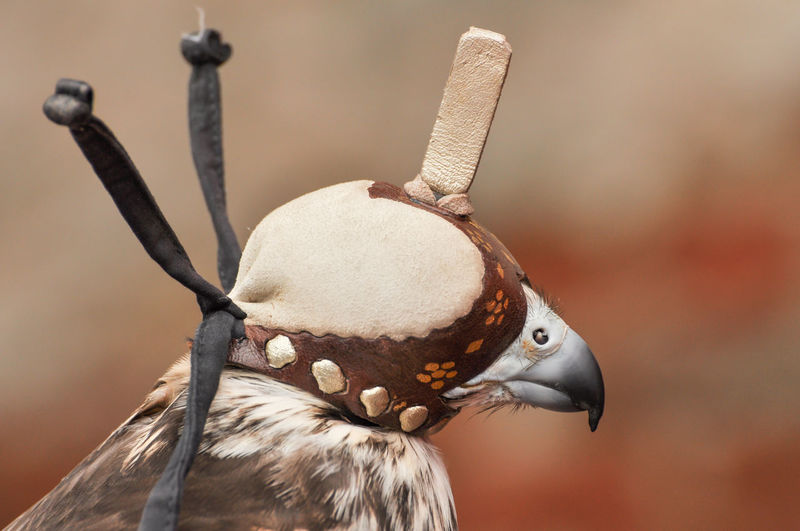 Close-up of a falcon wearing leather hood