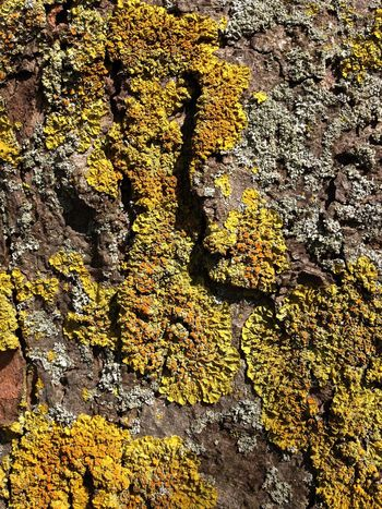 Tree trunk with lichen. Lincolnshire, England. Algae Backgrounds Bakground Bark Beauty In Nature Full Frame Growth Lichen Moss Natural Nature Textural Texture Textured  Textured Surface Textures And Surfaces Tree Tree Trunk Wood
