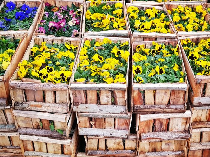 flowers in boxes Wooden Box Yellow Flower Wood Day Planting Foliage Fresh No People Farming Viola Flowers