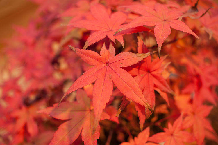 Autumn Beauty In Nature Bonsai Bonsai Tree Change Close-up Day Focus On Foreground Fragility Growth Leaf Leaves Maple Maple Leaf Maple Tree Nature No People Red