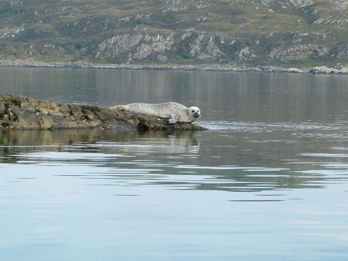 Baby Seal Seal Wildlife Sea