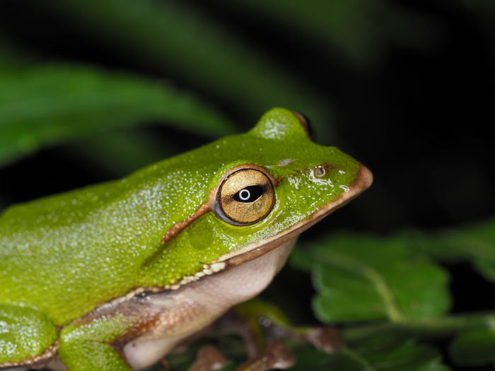 Close-up of green frog on leaf