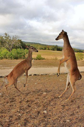 Animal Deer Deer Fighting Mammal Nature No People Outdoors Overcast