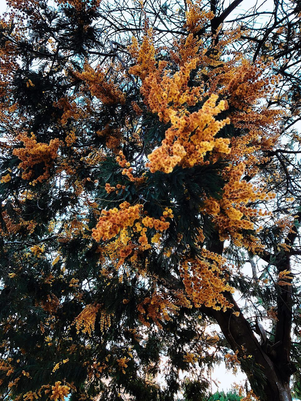 tree, plant, autumn, growth, change, low angle view, beauty in nature, branch, no people, nature, tranquility, day, outdoors, orange color, sky, trunk, tree trunk, leaf, plant part, forest, tree canopy, natural condition, directly below, coniferous tree