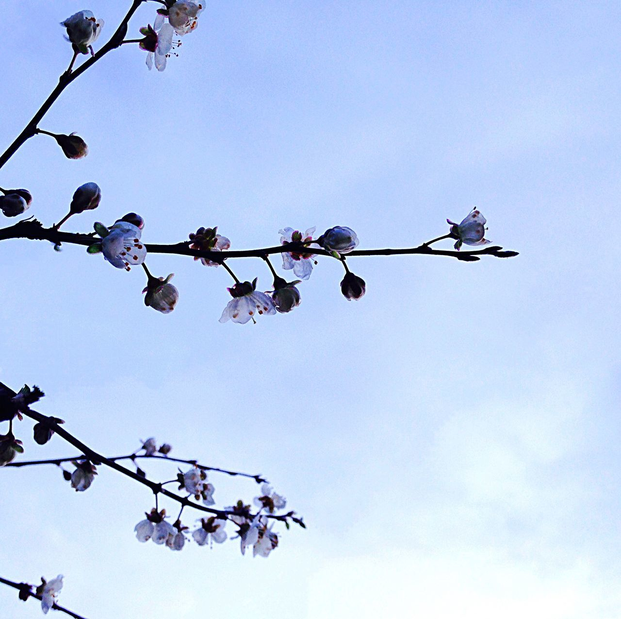low angle view, flower, beauty in nature, sky, nature, fragility, no people, growth, branch, day, tree, outdoors, clear sky, plant, hanging, freshness