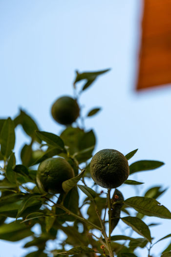 Low angle view of fruits growing on tree against clear sky