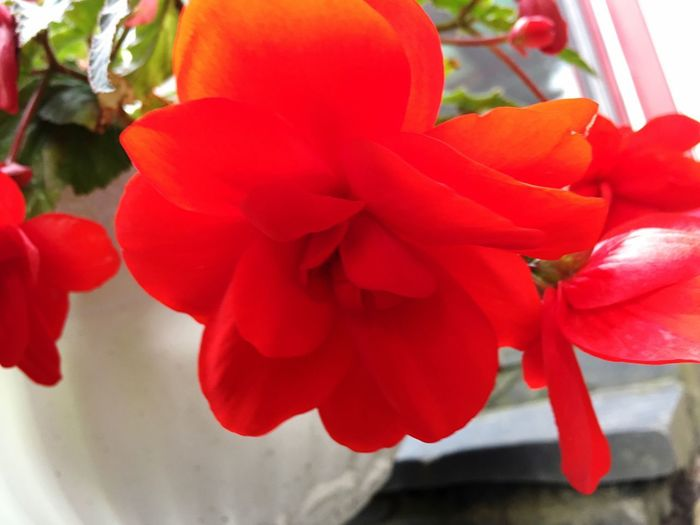Red Flowering Plant Plant Flower Freshness Beauty In Nature Close-up