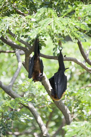 Foxbats in Thailand ASIA Bat Thailand Animal Themes Animal Wildlife Animals In The Wild Bat - Animal Beauty In Nature Black Color Branch Day Focus On Foreground Fox Fox Bat Foxbat Fruit Green Color Leaf Low Angle View Nature No People One Animal Outdoors Spread Wings Tree