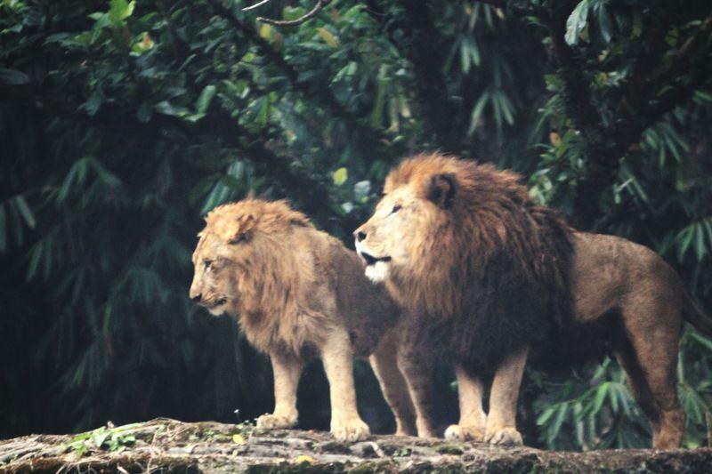Take lions pic from inside my car Lions Animal Representation Animals In The Wild Animals TSI TamanSafariIndonesia Bogor Cisarua With ❤