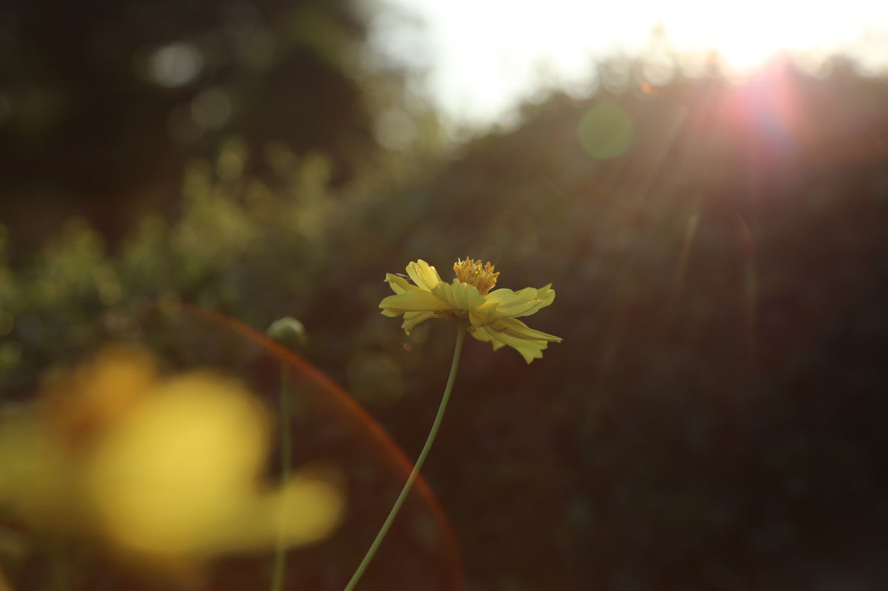 plant, flowering plant, flower, fragility, vulnerability, growth, beauty in nature, freshness, nature, yellow, close-up, selective focus, petal, focus on foreground, no people, flower head, inflorescence, day, outdoors, sunlight, spring