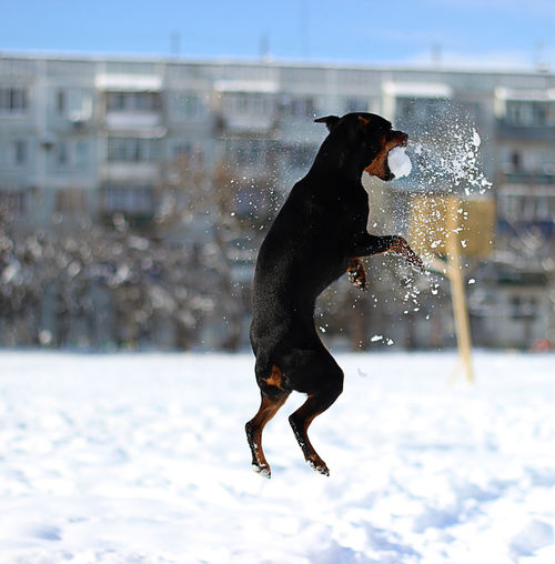 Dog Jumping On Snow