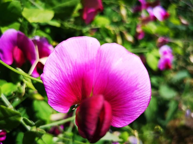 sweetpea close-up Sweetpea Flowers Sweetpea  Sweetpeas Purple Purple Flower Flower Head Flower Petunia Pink Color Petal Springtime Close-up Plant Plant Life Blooming Botany Blossom In Bloom