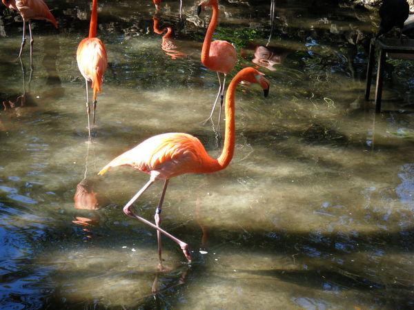 Flamingos Flamingo Water Pink Shining Reflection