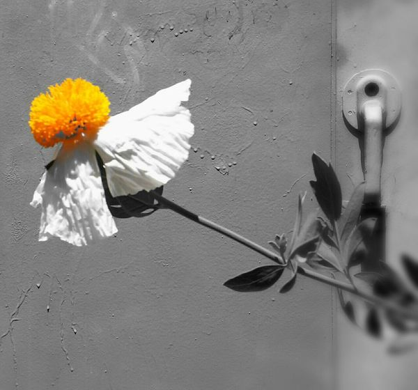 Matilija Poppy Romneya Coulteri Flower Blackandwhite EyeEm Best Edits Yellow Smart Simplicity Lemon By Motorola
