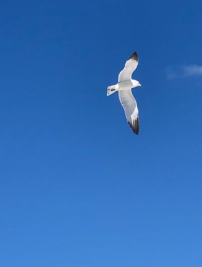 Flying Bird Spread Wings Animals In The Wild Blue Animal Wildlife Animal Vertebrate Animal Themes Low Angle View One Animal Sky Copy Space Clear Sky No People Day Seagull Nature Mid-air Beauty In Nature