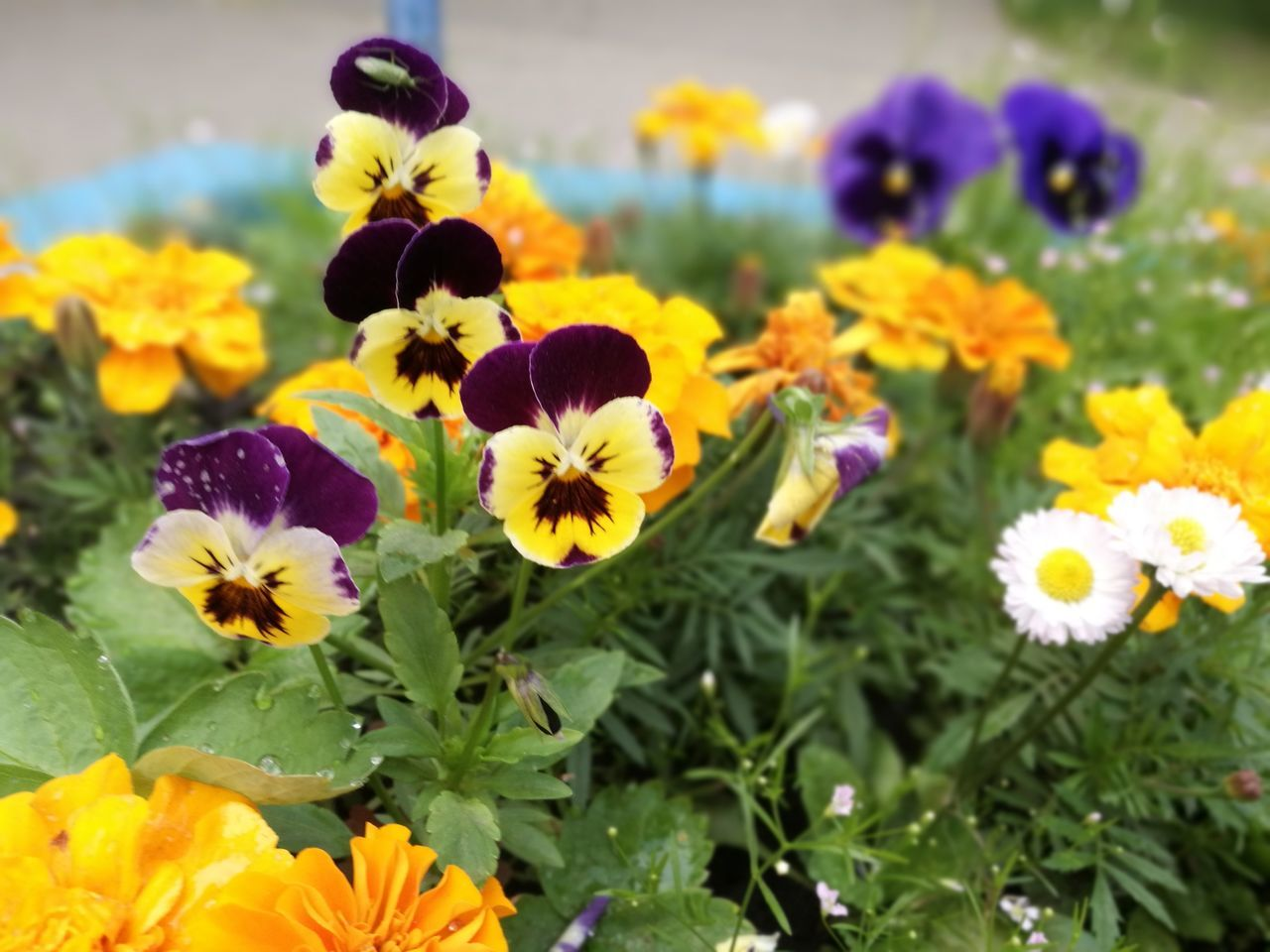 flower, petal, fragility, freshness, beauty in nature, flower head, nature, growth, yellow, plant, blooming, no people, pansy, close-up, outdoors, day