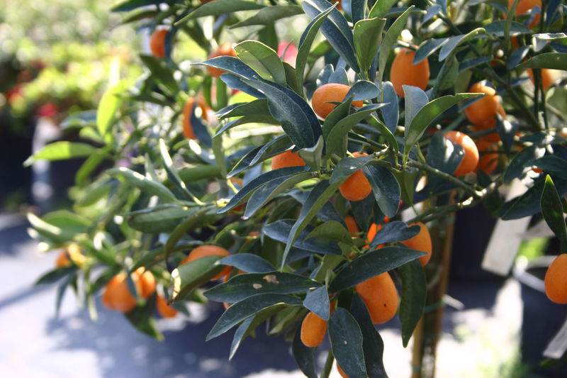 Beauty In Nature Close-up Day Flower Freshness Fruit Fruit Tree Growth Nature No People Orange Color Orange Fruit Tree Orange Fruits Oranges Outdoors Plant Nursery