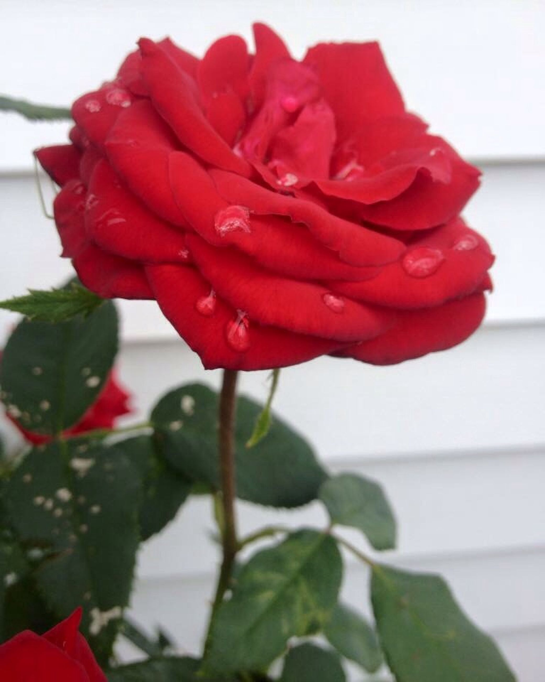 flower, petal, freshness, fragility, flower head, red, growth, close-up, rose - flower, beauty in nature, blooming, focus on foreground, plant, nature, in bloom, leaf, stem, blossom, botany, day, no people, outdoors, selective focus, softness, pollen