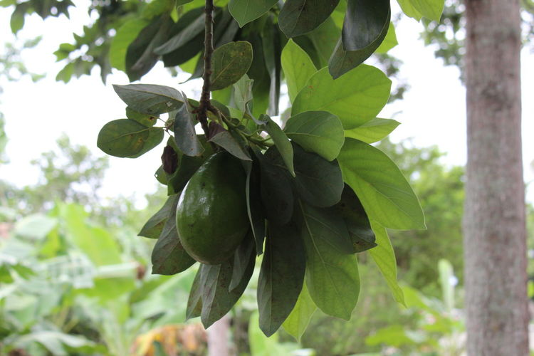 Grandpa Grows Avocado Avocado Tree Avocado Plant Life Plant Photography