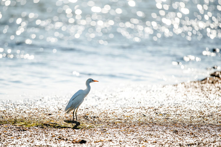 Egret at the