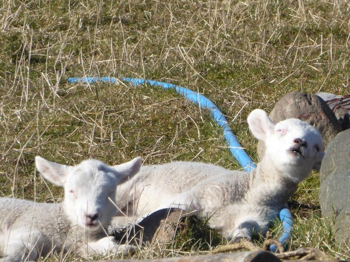 Lambs sleeping in the Stornoway sunshine Agriculture Farmlife Farming Scotland Lamb Sleeping Lambs Playing And Relaxing Lamb Animal Themes Domestic Animals Mammal Day Outdoors Grass Young Animal Livestock Nature No People Portrait