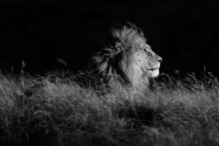 Side view of lion sitting on grassy field