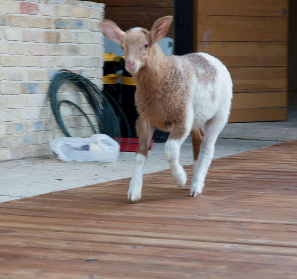 Freedom Goat Happiness Love Day Domestic Animals Freedom Farm Sanctuary Happy Anímals Humanıty Mammal One Animal Rescue Animals Sheep Vegan
