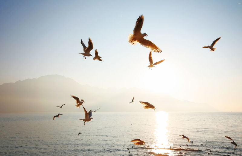 Animal Themes Animals In The Wild Beauty In Nature Bird Clear Sky Flock Of Birds Flying Horizon Over Water Landscapes With WhiteWall Medium Group Of Animals Mid-air Nature Scenics Sea Seagull Sky Spread Wings Sunset Water Wildlife