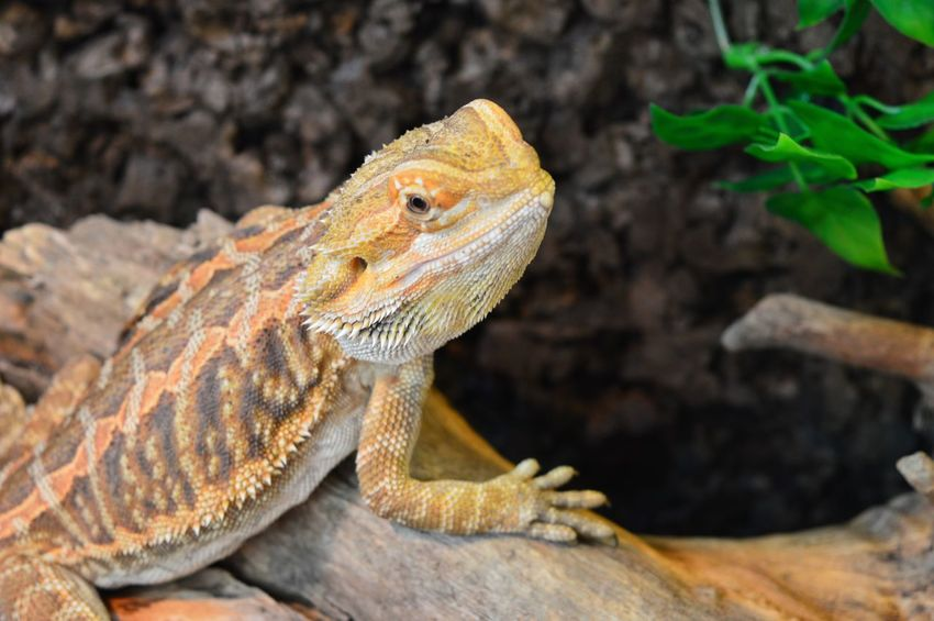 Reptile One Animal Animal Themes No People Nature Bearded Dragon Lizard