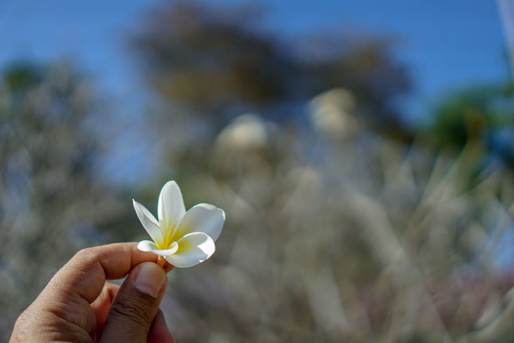 Beauty In Nature Blooming Close-up Day Flower Flower Head Focus On Foreground Fragility Frangipani Freshness Holding Human Body Part Human Hand Nature One Person Outdoors People Petal Plant Real People White Color