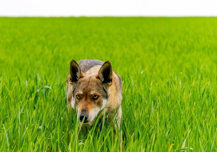 Portrait of a wolf on field