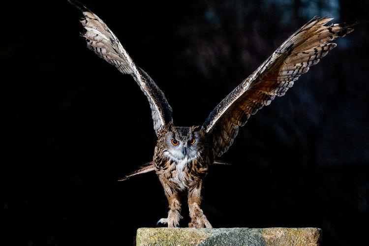 Bengal Owl -