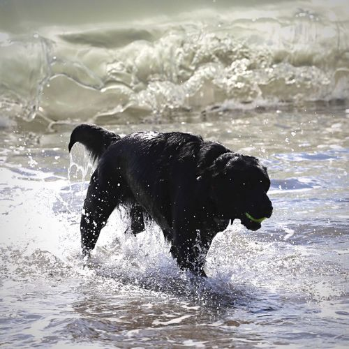 Dog carrying ball in mouth while walking in sea