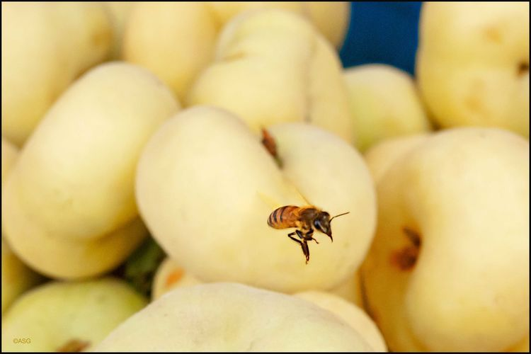 Bee buzzing Donut Peach - 8/22/18 EyeEmNewHere Animal Themes Bee Collecting Pollen Close‐up Photography Malephotographerofthemonth My Point Of View Unripe Fruits