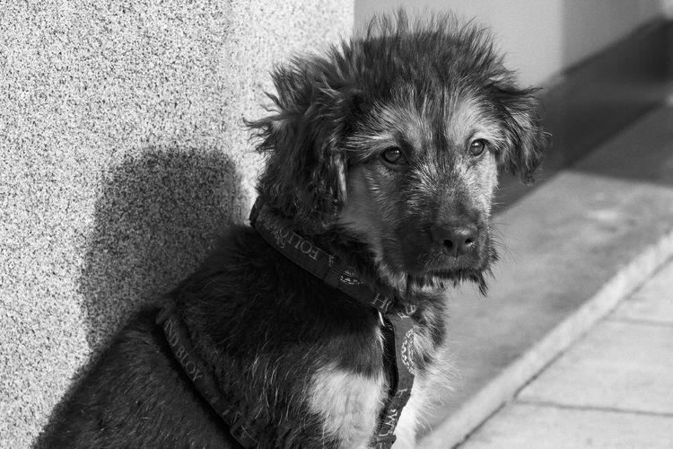 German Shepherd Dog  Animal Themes Blackandwhite Photography Close-up Day Dog Domestic Animals Looking At Camera Mammal No People One Animal Outdoors Pet Collar Pets Portrait Sitting
