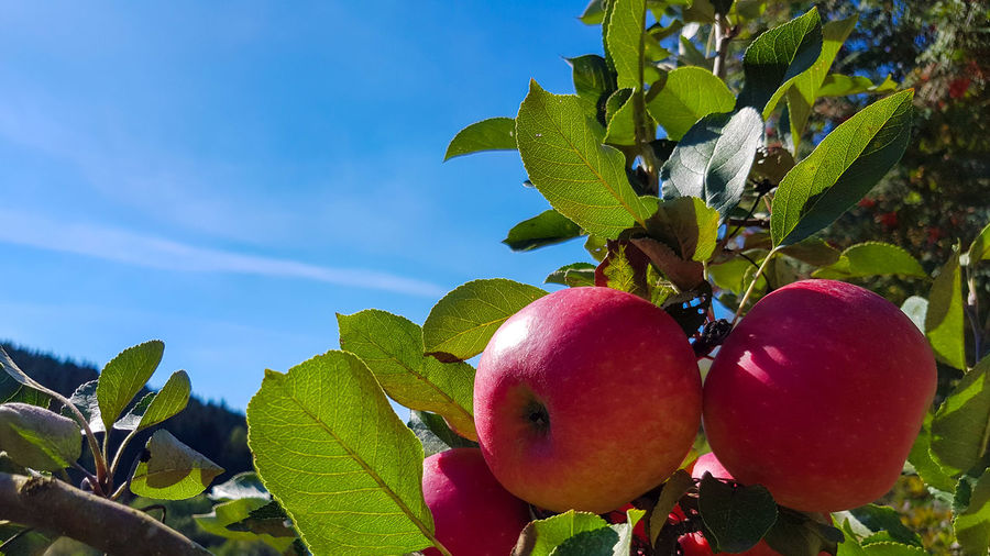 Close-up of apples on tree against sky