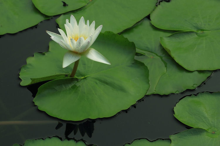 Beautiful white color lotus Leaf Plant Part Plant Flower Green Color Growth Freshness Water Lily Beauty In Nature Close-up Lake Flowering Plant Floating Vulnerability  Floating On Water Fragility Nature Water Petal No People Flower Head Lotus Water Lily Leaves