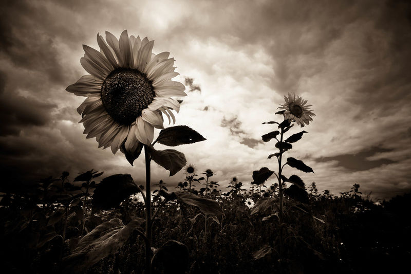 Armageddon Beauty In Nature Blooming Close-up Creative Photography Dark And Creepy Face Of Sunflower Flower Flower Head Flowers Growth Moody Nature Plant Sepia Sepia Sunflowers Sky Sunflowers Triffids  Visual Creativity