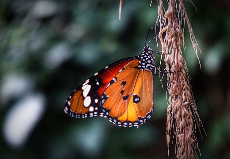 Close-up of monarch butterfly perching on dry vine