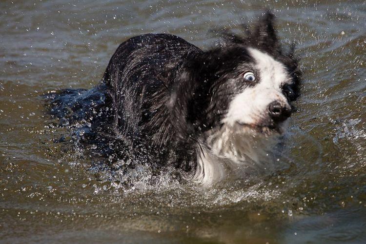 Wet dog in water
