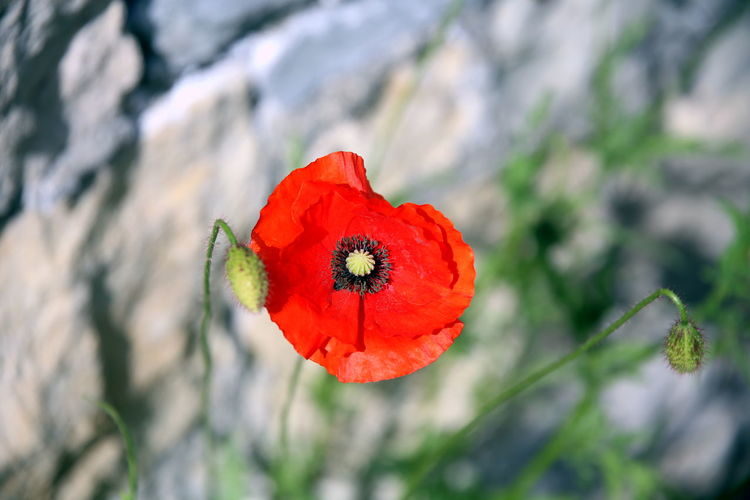 Focus on the red corolla of a poppy with other blurred stems in the background