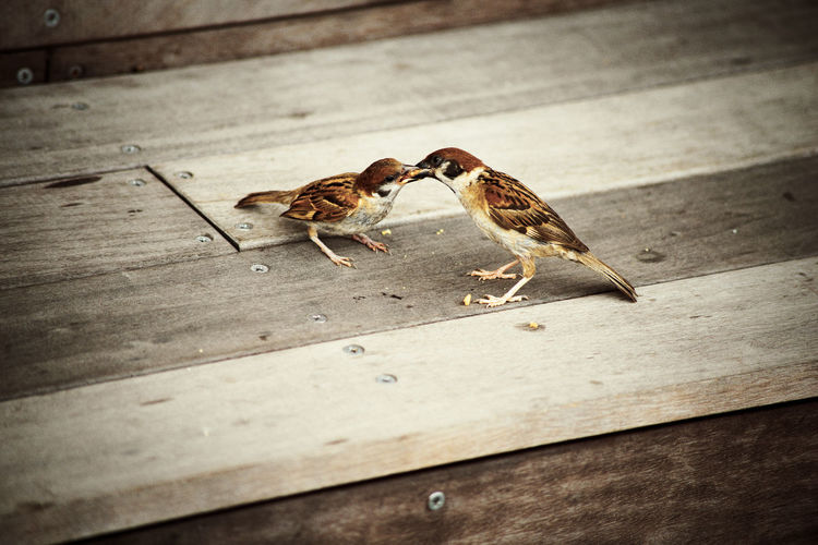 Birds Day Feeding  Mammal Minatomirai Nature Outdoors Selective Focus Sparrow Parent And Child