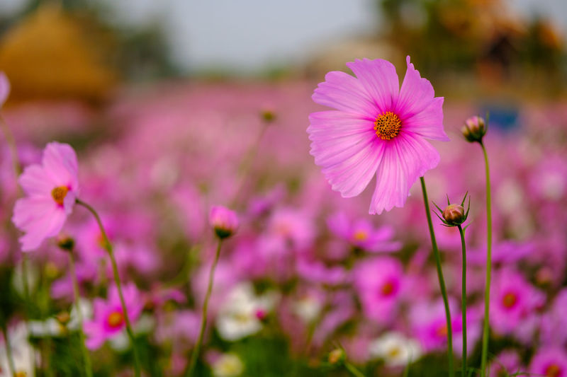 Close-up of pink cosmos blooming outdoors
