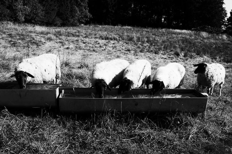 Sheeps Bischofsheim Black & White Family Time Germany Nature No People Rothsee Sheeps Ricoh Gr Black And White