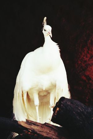 Peacock Nationalbird Birdsphotography
