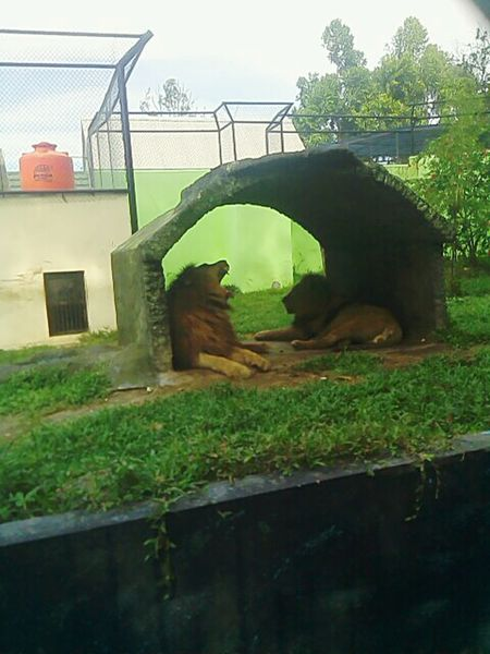 Lion Domestic Animals Animal Themes Zoo Kingofthejungle