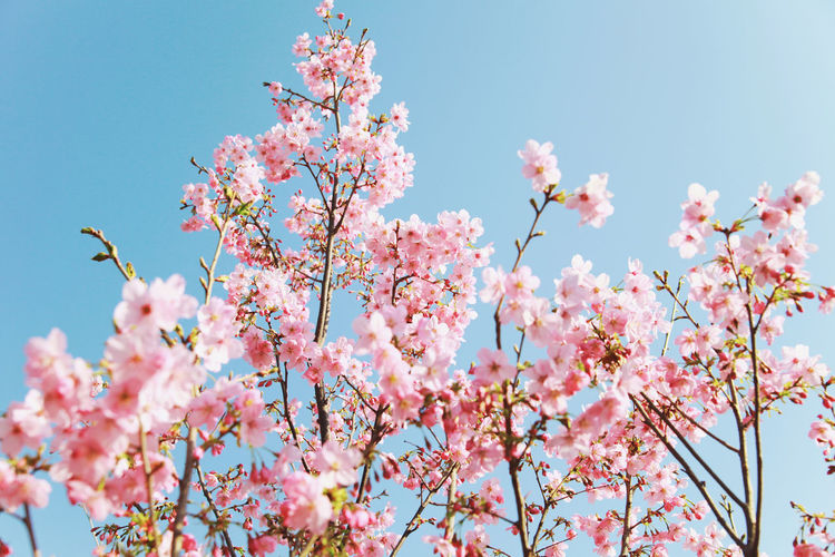 flowers Flowers Flowers_collection Flowers, Nature And Beauty Flowers,Plants & Garden Naturephotography Nature Photography Nature_collection Nature_perfection Photography Forest Travel Photography Travel Flower Head Flower Tree Branch Springtime Clear Sky Pink Color Blossom Plum Blossom Sky